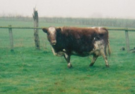 The starring cow